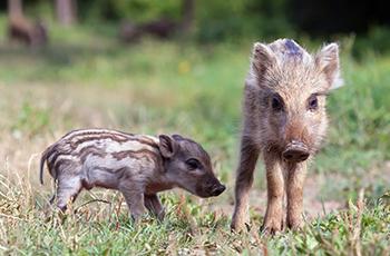 Wildschwein Locherholz