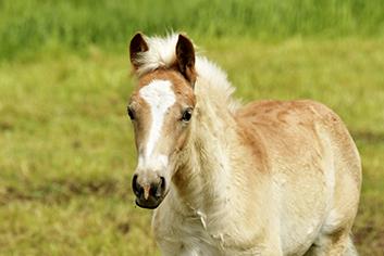 Reutemuehle Pony