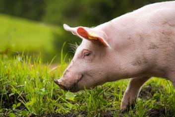 Reutemuehle Schwein